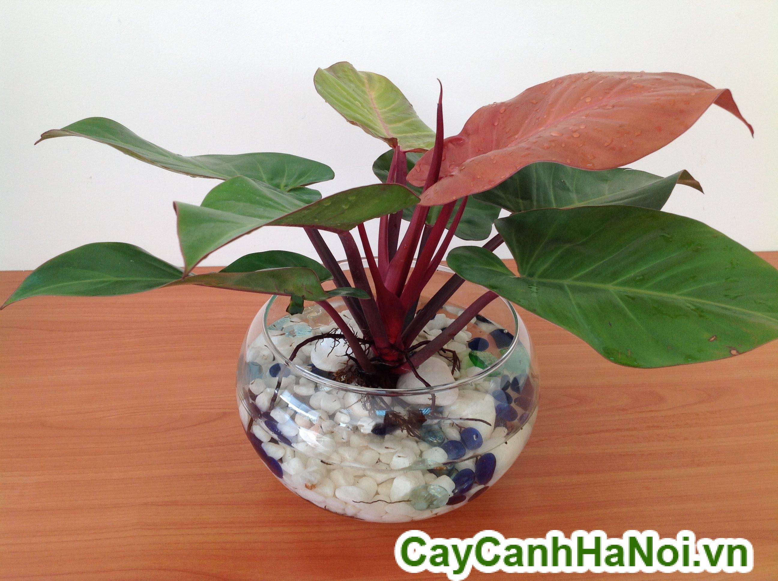 http://caycanhdalat.vn/san-pham/cay-dai-de-noi-van-phong