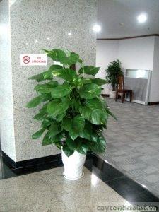 cây vạn niên thanh leo cột