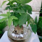 cây kim ngân thủy sinh