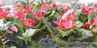 hoa tiểu hồng môn cho văn phòng