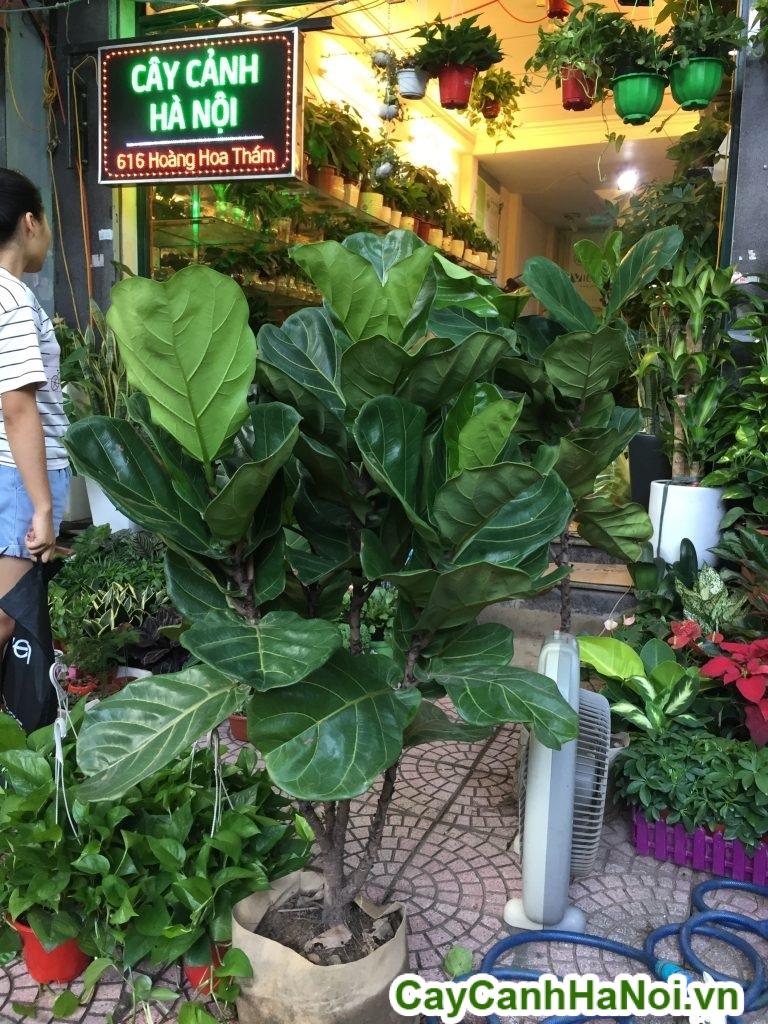cay-bang-singapore