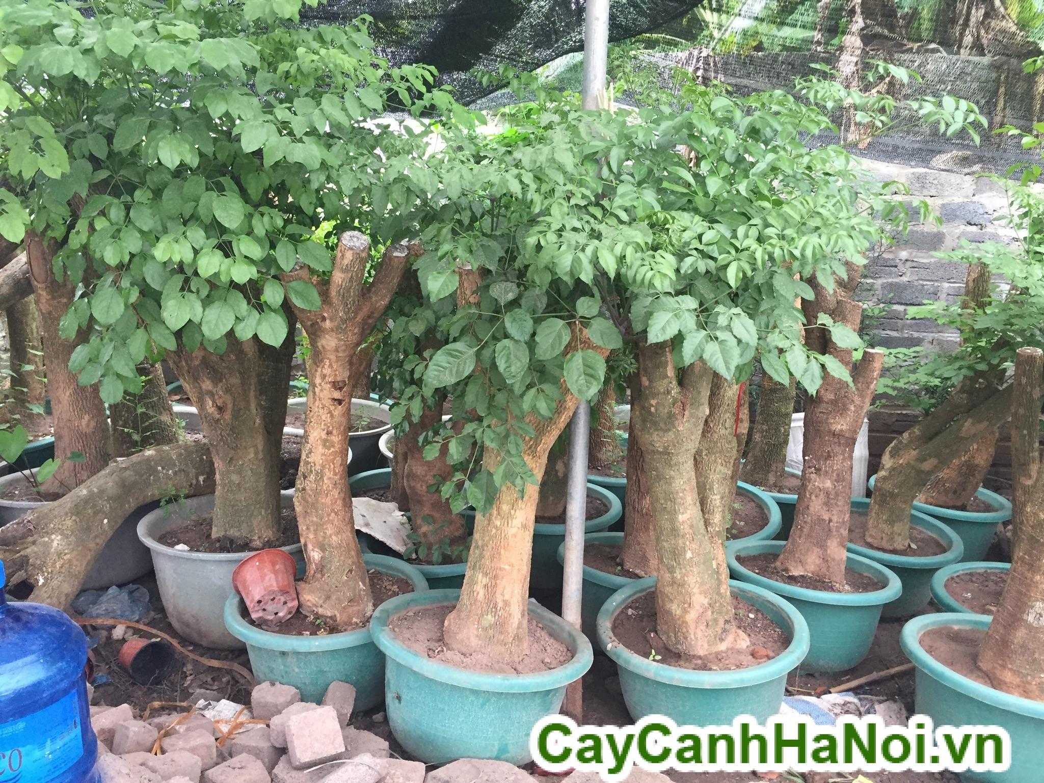 cay-hanh-phuc