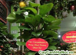 cay-qua-tang-khai-truong 2